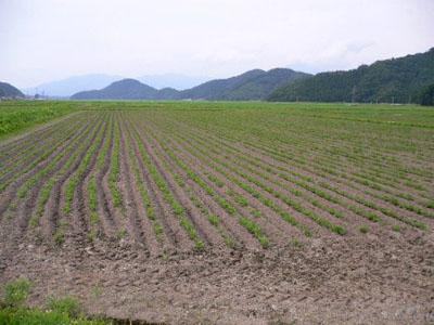 発芽した大豆