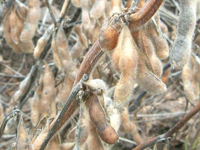 収穫時期の大豆