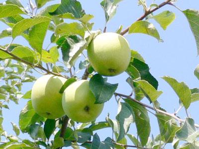 肥大中のりんご