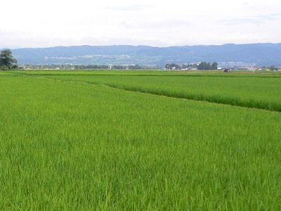 生育中の水稲