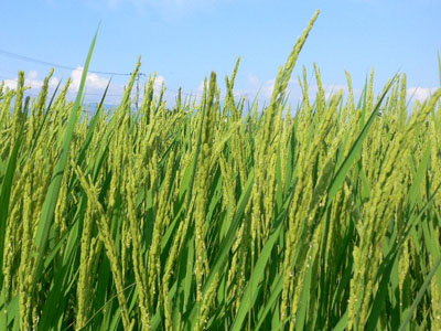 出穂した水稲