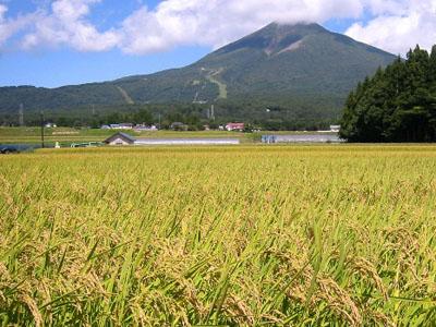 収穫間近の水稲