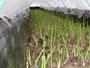 冬に収穫、促成アスパラガス