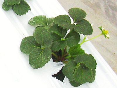 定植後のいちご