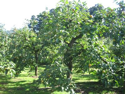 生育中の柿