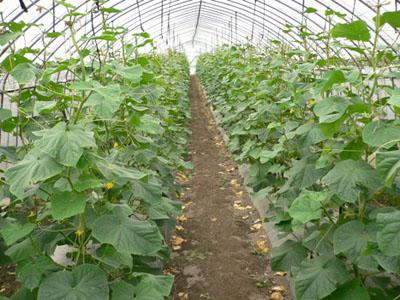 収穫中のきゅうり