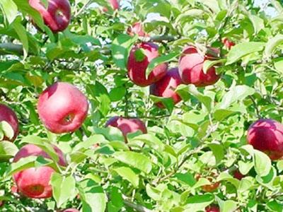 収穫適期のりんご